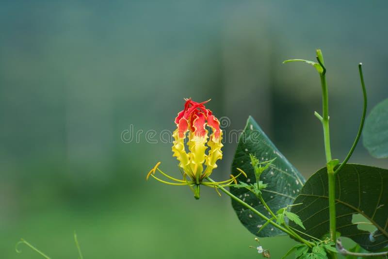 Glory Lilly Gloriosa Superba royaltyfri bild
