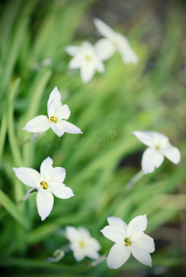 Free Glory-of-the-snow Flower In Springtime Stock Photos - 53427533