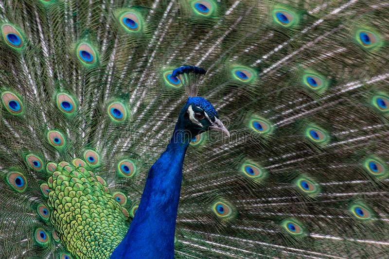 The glory of a peacock. Magnificent male peacock showing plumage during courtship in a South Carolina garden royalty free stock photos