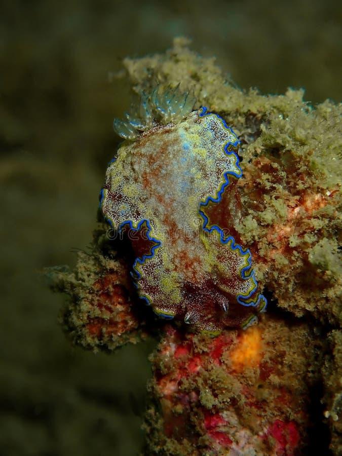 Glossodoris cincta jest gatunki denna podrożec, dorid nudibranch, bezskorupowy morski gastropod mollusk w rodzinnym Chromodoridid zdjęcia stock