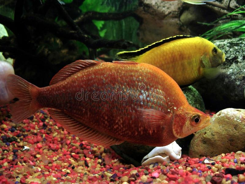 Glossolepis incisus. Photo of aquarian fish. The red rainbowfish or salmon-red rainbowfish (Glossolepis incisus) is endemic to dense vegetation waters of Lake royalty free stock photo