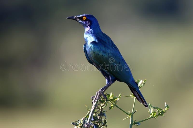 Glosst Starling Bird arkivbild