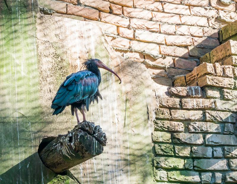 Glossy black northern bald hermit ibis bird standing on a pole with his feather shining in different colors beautiful desert bird royalty free stock images