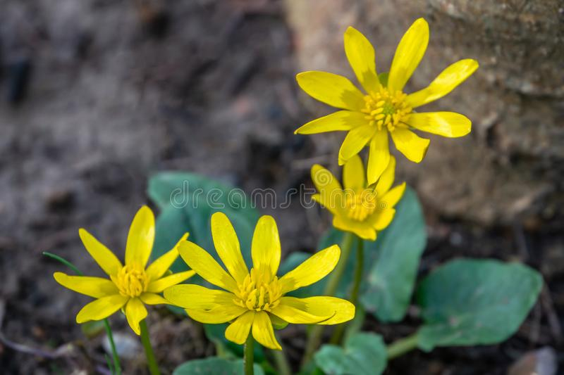 Glossy bright yellow small flowers Lesser celandine or Buttercup spring Ficaria verna, Ranunculus Ficaria. stock image