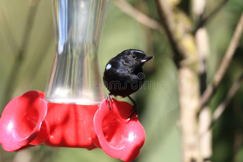 Download Glossy Flowerpiercer stock image. Image of animal, piercer - 39507407