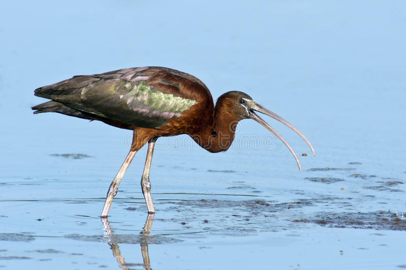 Glossy Ibis. (Plegadis falcinellus) foraging for food in blue water stock photos