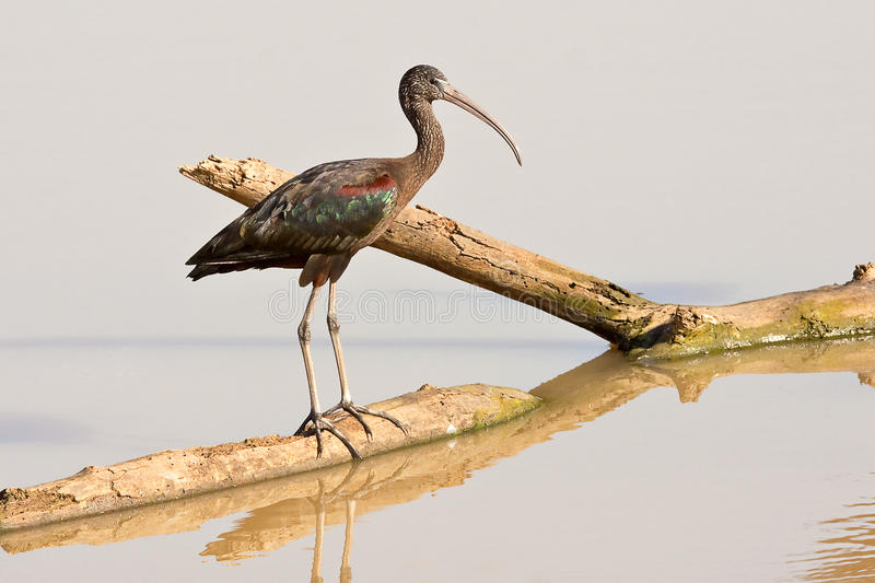 Download Glossy Ibis Royalty Free Stock Photography - Image: 22604777