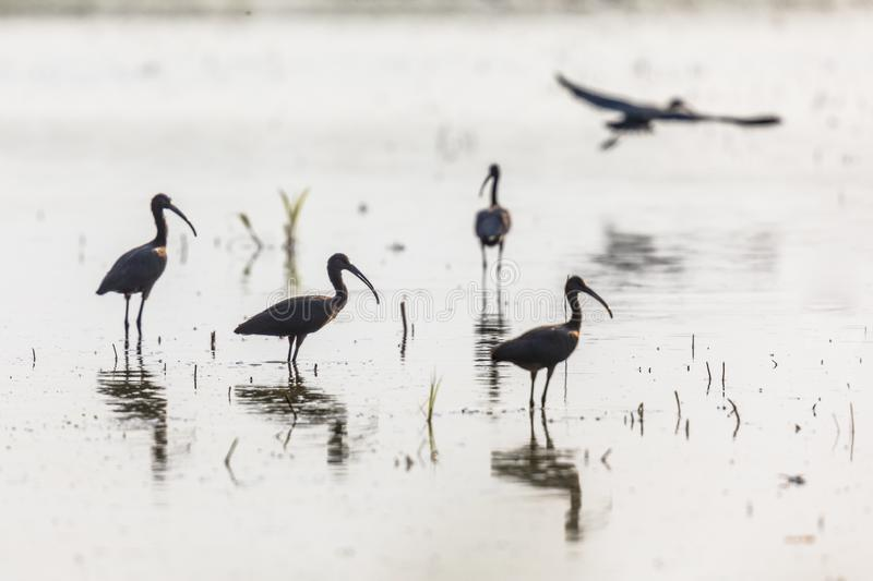 Glossy ibis group backlight stock photo