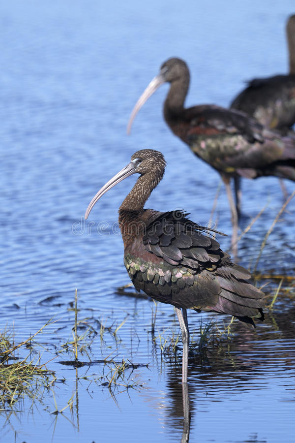 Download Glossy Ibis, Plegadis Falcinellus Royalty Free Stock Photography - Image: 13514427