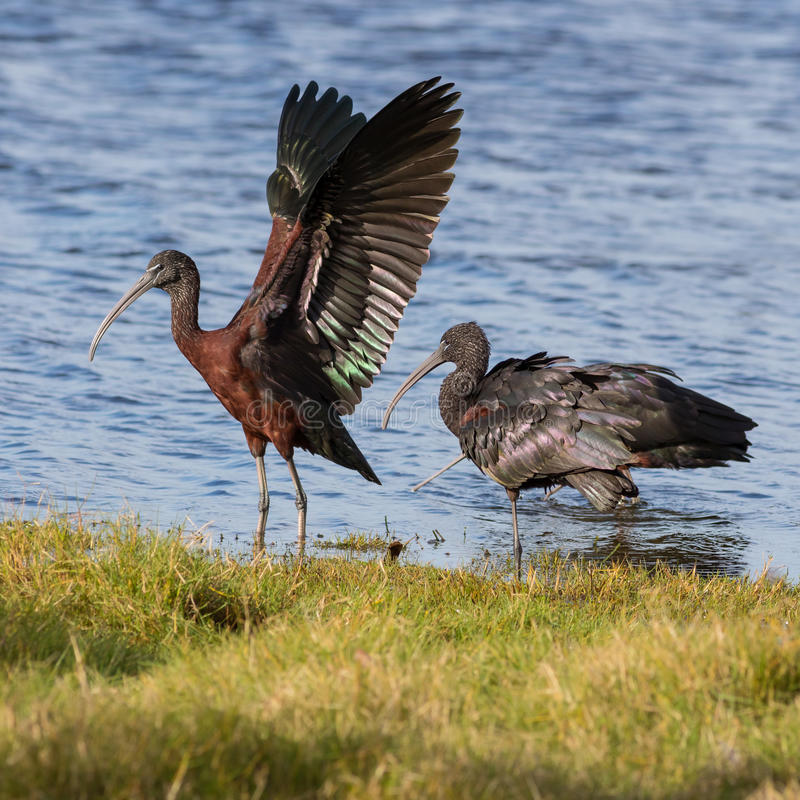 Glossy Ibis. The glossy ibis (Plegadis falcinellus) is a wading bird in the ibis family. It is the most widespread ibis species, breeding in Europe, Asia, Africa royalty free stock photo