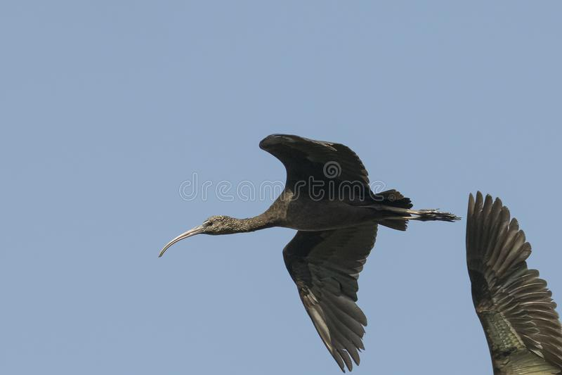 Bird : Close up of Immature Glossy Ibis in Flight. The glossy ibis is a wading bird in the ibis family,with its long, slender, down-curved bill and magnificent royalty free stock photography