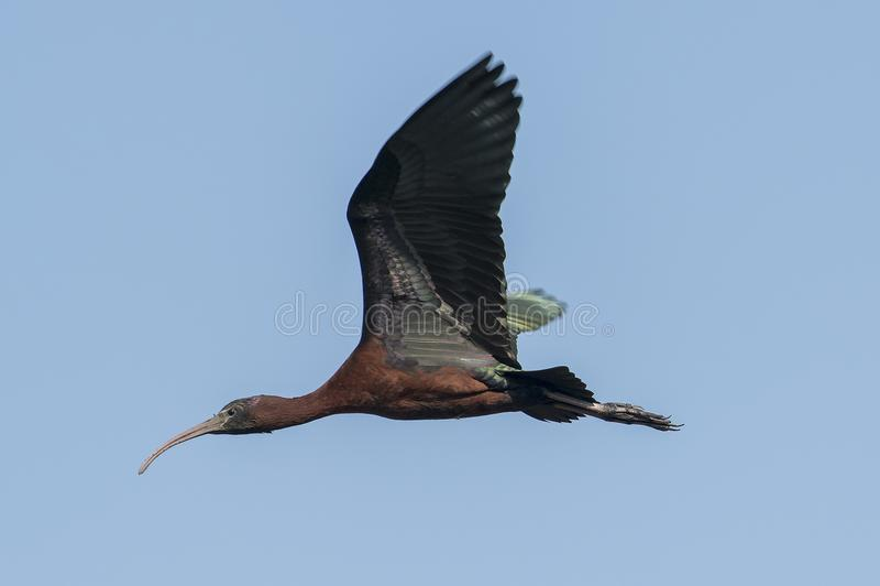 Bird : Portrait of Mature Glossy Ibis in Flight royalty free stock photos