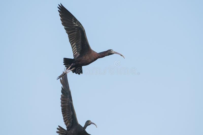 Bird : Portrait of Mature Glossy Ibis in Flight royalty free stock image