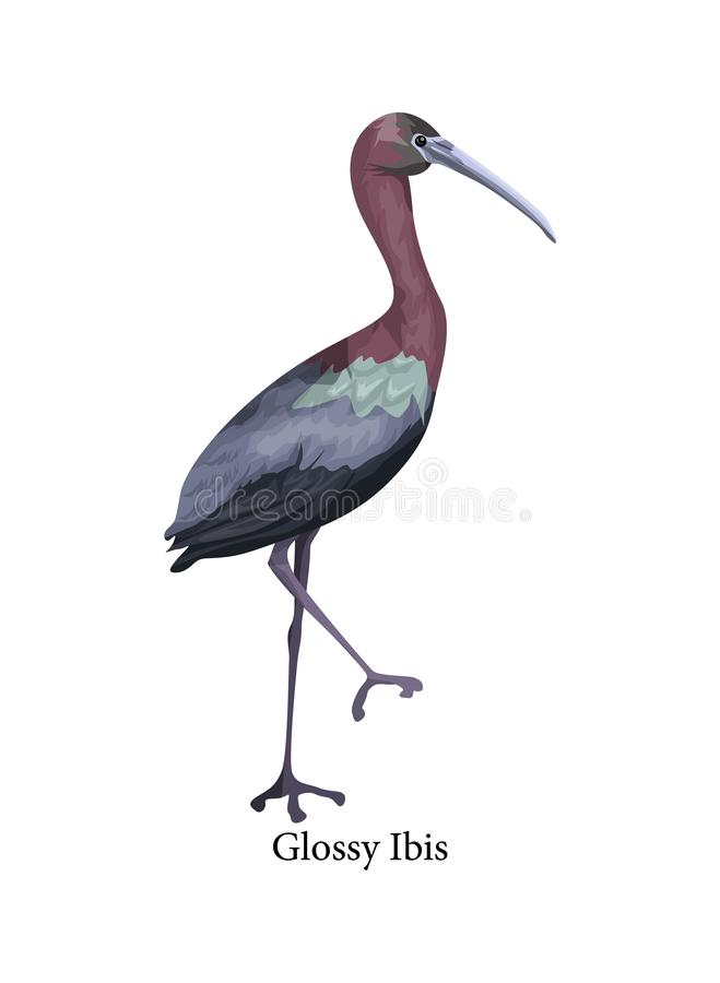 Glossy Ibis wild bird with long beak. Beautiful animal in wildlife. Isolated vector illustration royalty free illustration