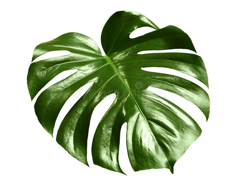 Glossy monstera leaf stock photos