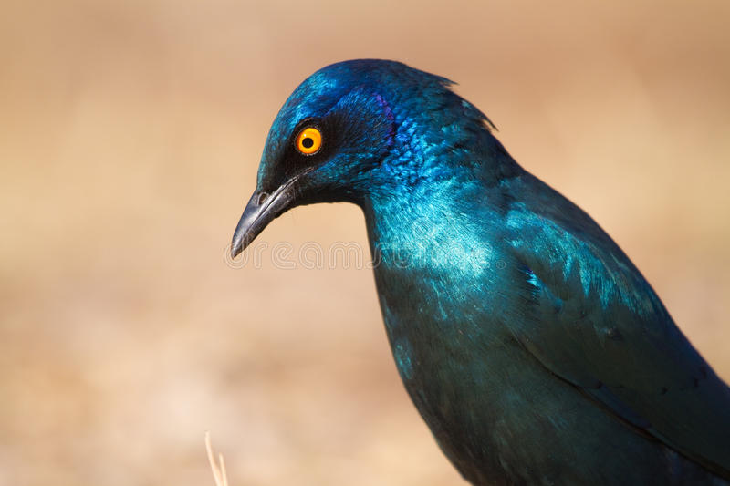 Glossy starling. An adult cape glossy starling in stunning sunlight royalty free stock photos