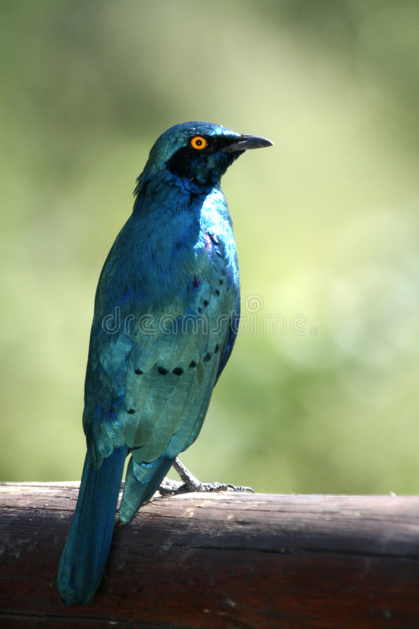 Glossy Starling. Purched on Pole royalty free stock images