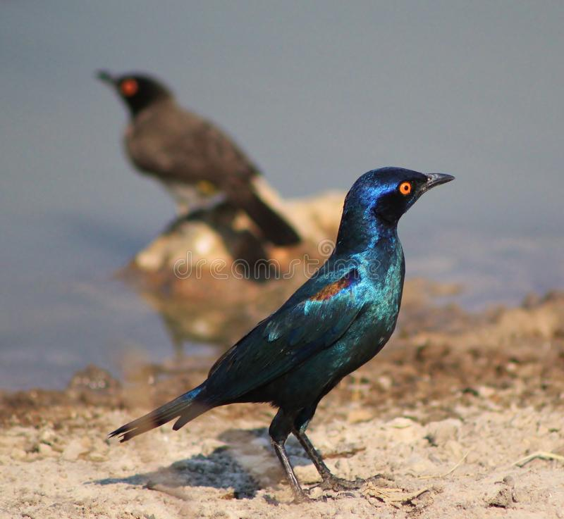 Free Glossy Starling - Blue And Purple Stock Photos - 26565043