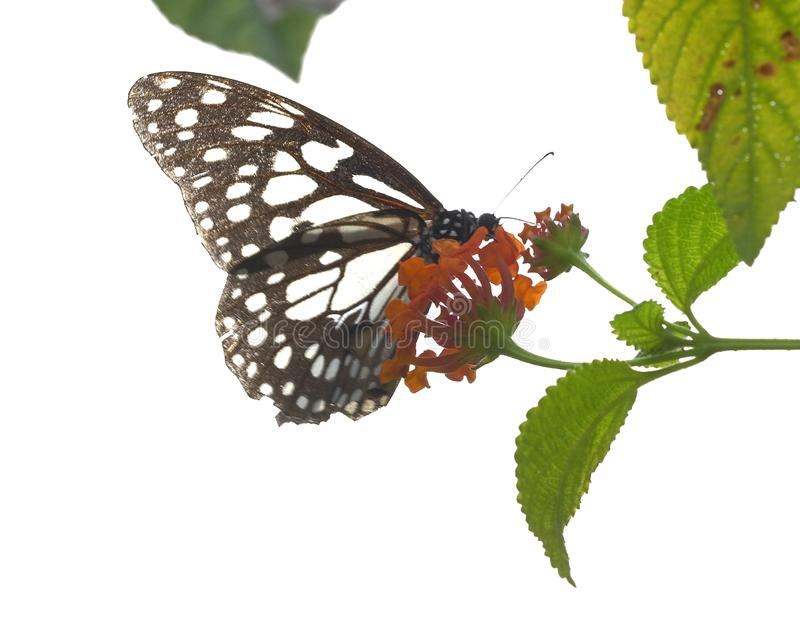 Glossy tiger Parantica aglea butterfly stock photo