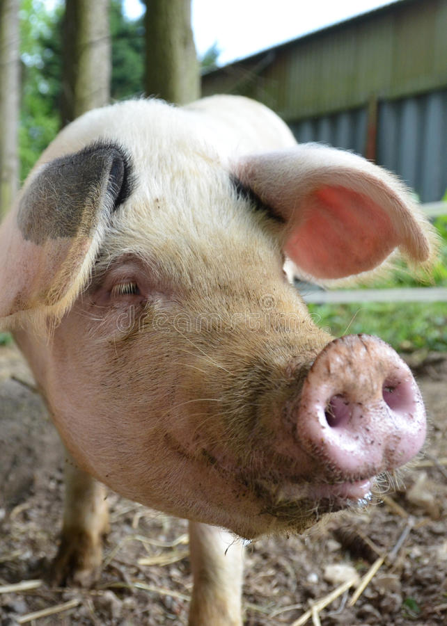 Gloucester old spot pig royalty free stock photo