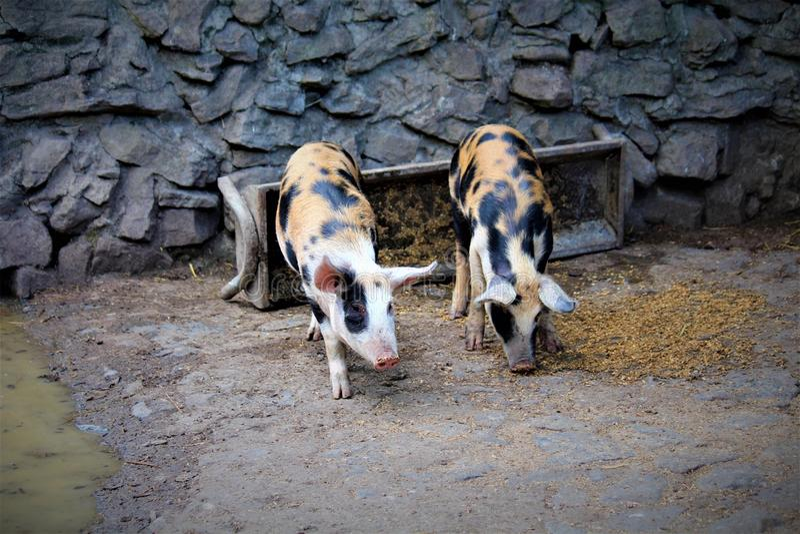 Gloucestershire prickiga svin royaltyfria bilder