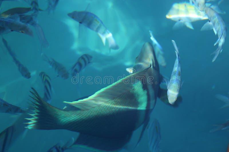 Glouton de la Mer Rouge image libre de droits