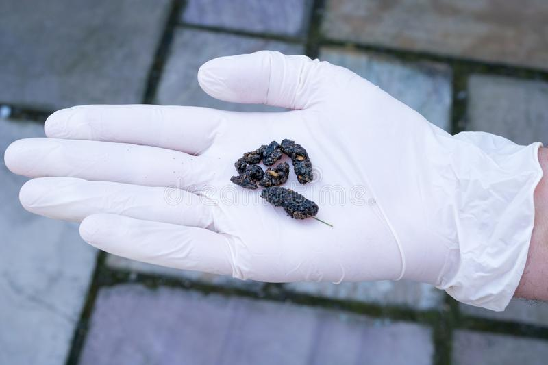 Gloved hand with hedgehog droppings. Person with hedgehog droppings held in a gloved hand stock image