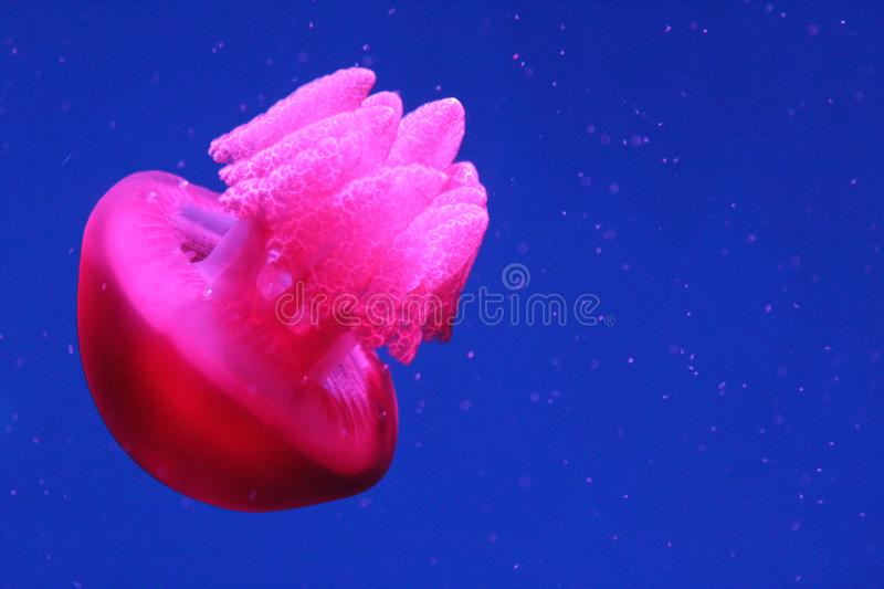 Glow in the Dark Jellyfish. This unique photo shows a large, bright pink jellyfish as it swims underwater. This amazing photo shows the details of the jellyfish` stock image