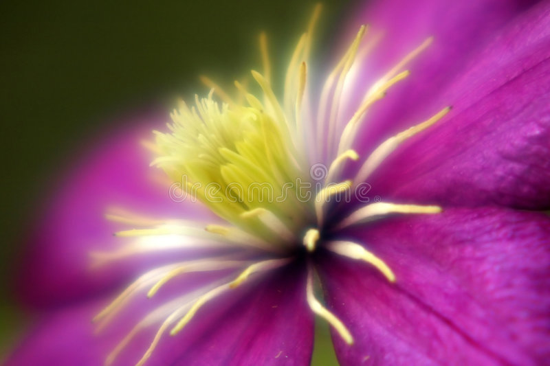 Download Glowing Clematis stock photo. Image of soft, magenta, plant - 153082