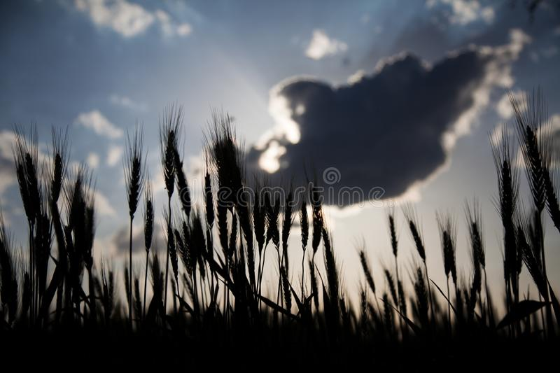 Silhouette of wheat spikes at sunset royalty free stock image