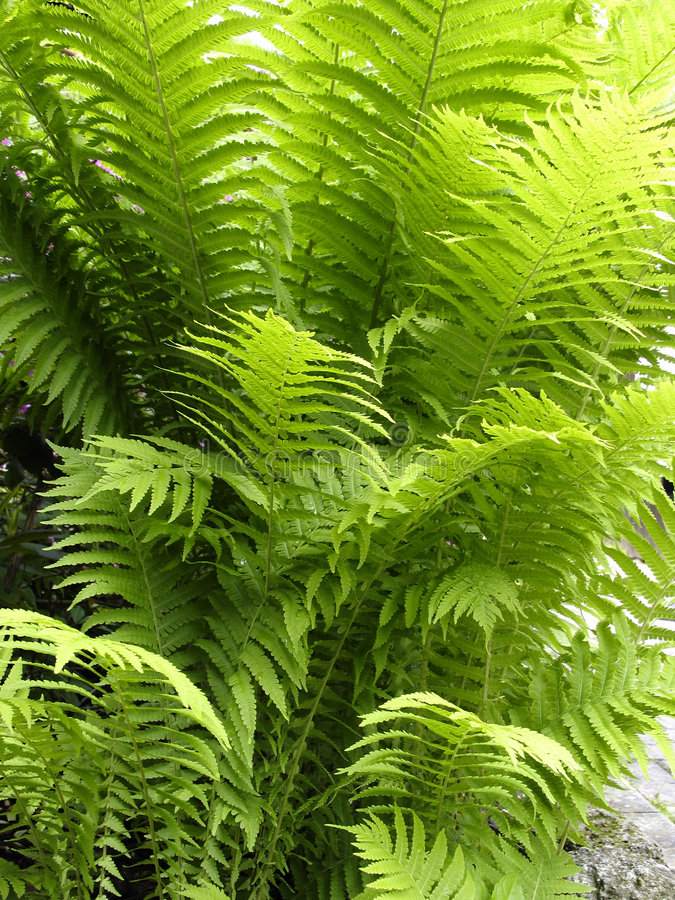 Glowing fern leaves royalty free stock photos