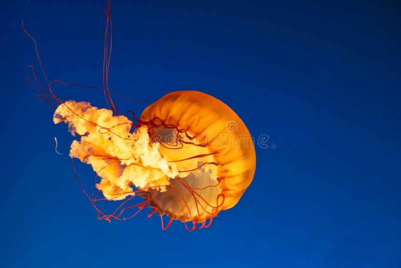 Glowing jellyfish stock photos