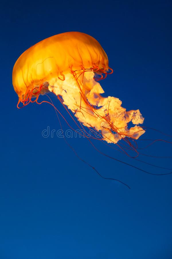 Download Glowing Jellyfish stock image. Image of aqua, jelly, float - 27949815