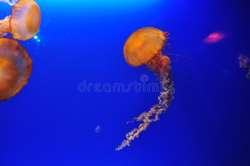 Download Glowing Jellyfish In Aquarium Stock Photos - Image: 28328153