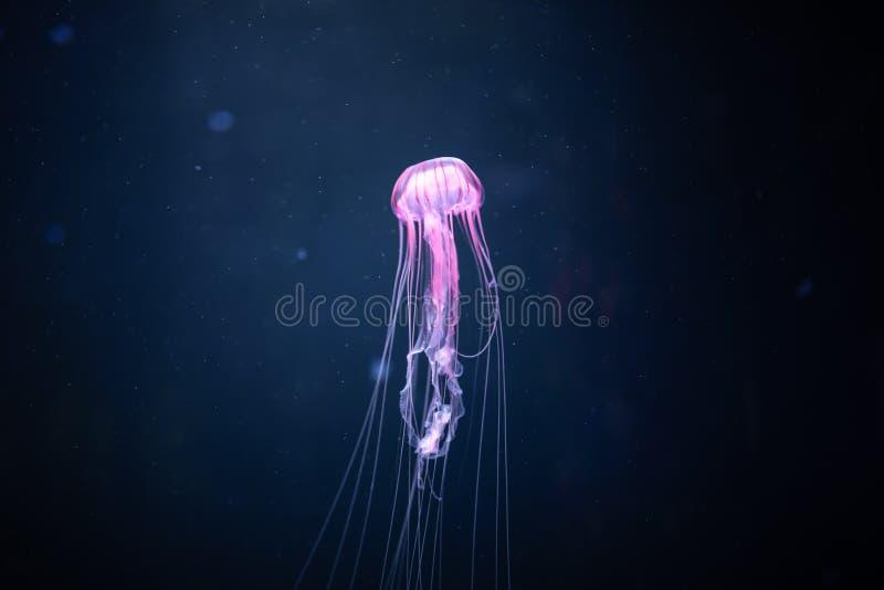 Glowing jellyfish chrysaora pacifica underwater royalty free stock photos