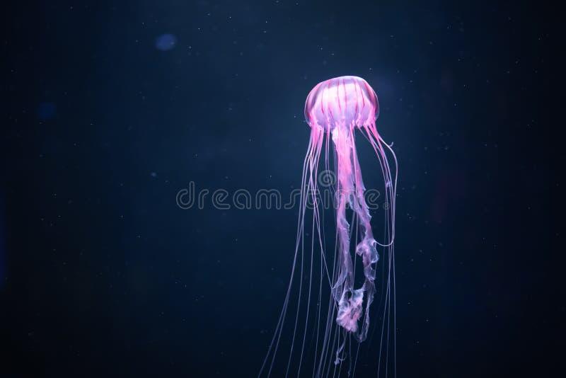 Glowing jellyfish chrysaora pacifica underwater royalty free stock photo