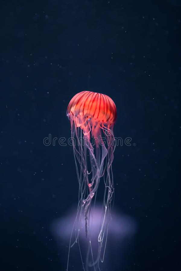 Free Glowing Jellyfish Chrysaora Pacifica Underwater Stock Image - 151695021