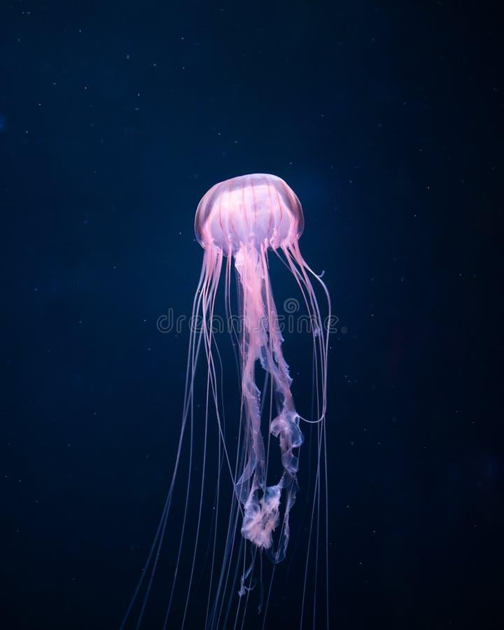 Glowing jellyfish underwater stock photo