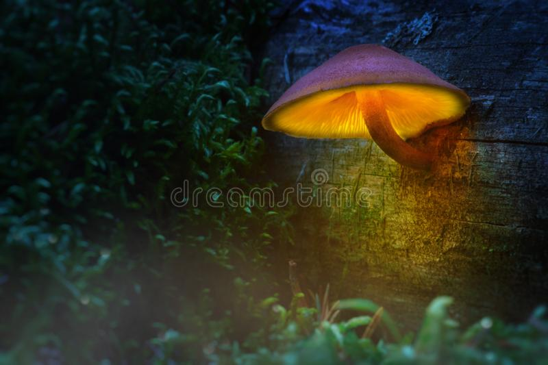 Glowing mushroom in Wonderland. Magic light of mushrooms in a fa. Iry forest royalty free stock images