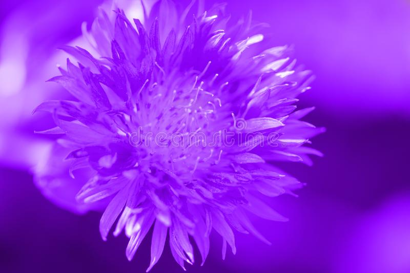 Glowing Purple color. Single flower in bokeh background. Summer day.Color palette. Love fashion royalty free stock photos