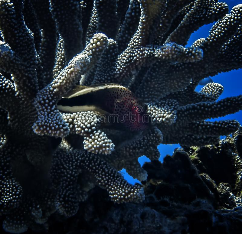 Glowing Red Eye of Hawkfish in Coral Underwater stock photography