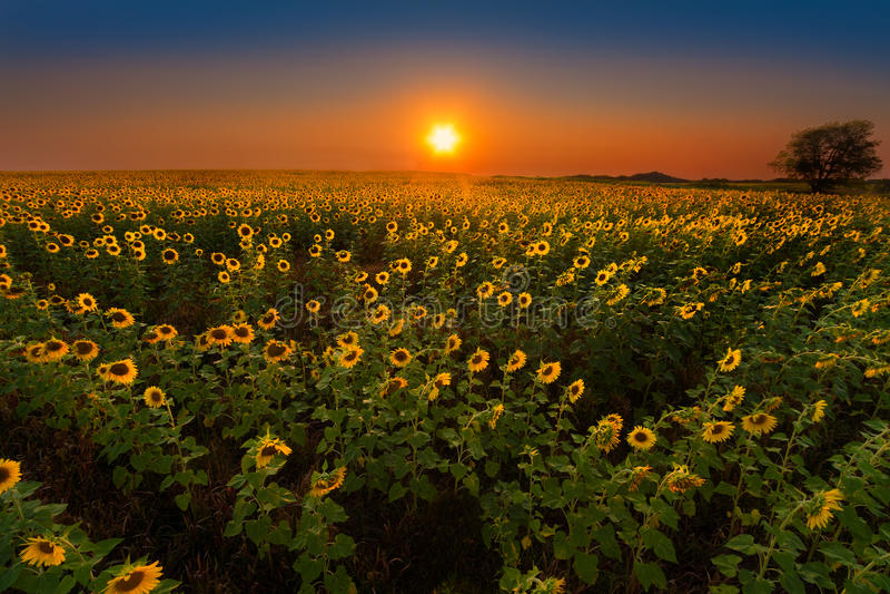 Glowing Sunflowers at sunset stock photo