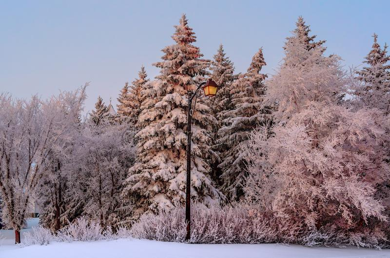 Glowing yellow light city lantern, amidst snow-covered fir trees on a winter evening stock images