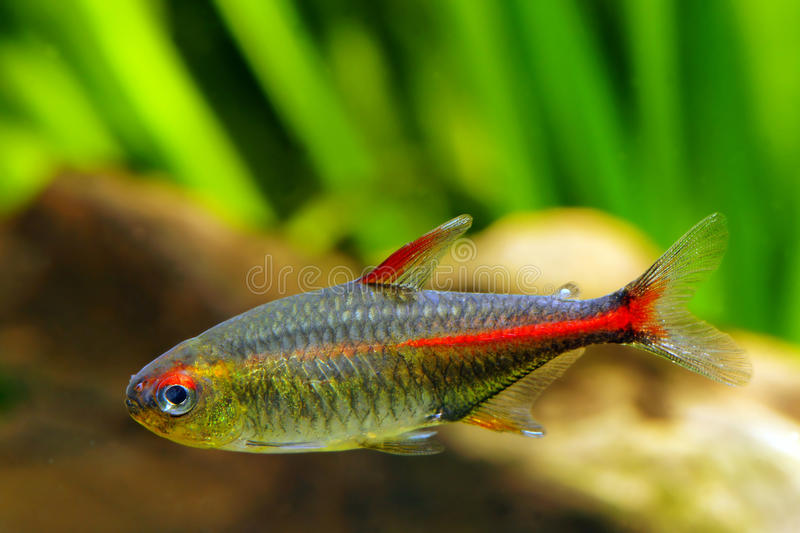 Glowlight Tetra fish royalty free stock photo