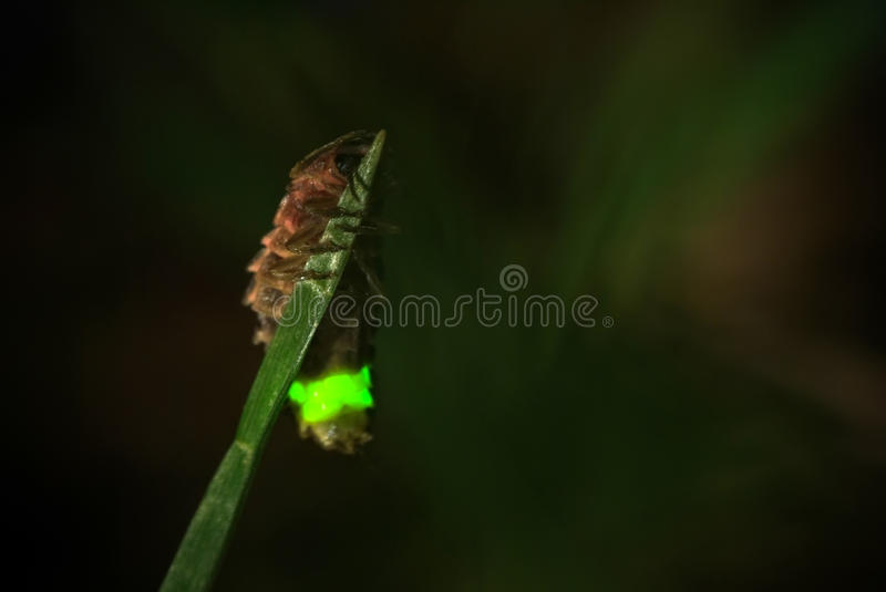 The glowworm stock photography
