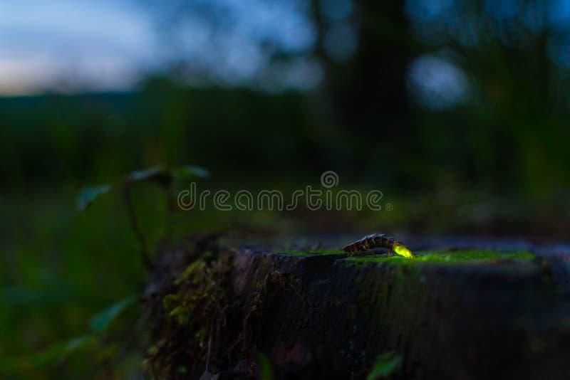 glowworm 库存照片