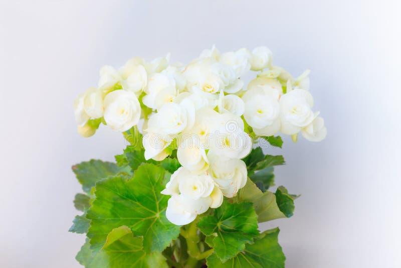 Gloxinia, растя белые зацветая цветя комнатные растения с серой предпосылкой стены, культивируемой как крытые декоративное или ор стоковые фотографии rf