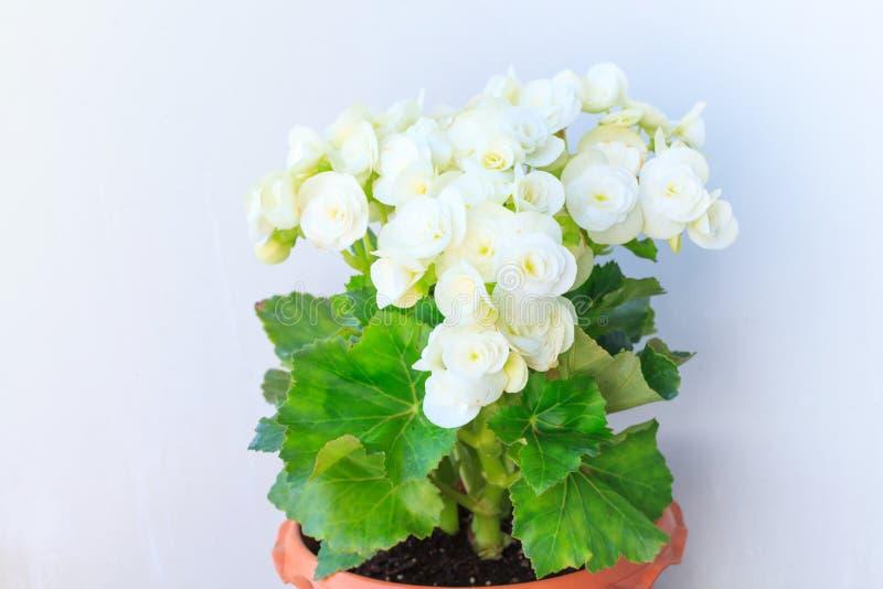 Gloxinia, houseplants de florescência de florescência brancos crescentes com o fundo cinzento da parede, cultivado como decorativ fotografia de stock royalty free
