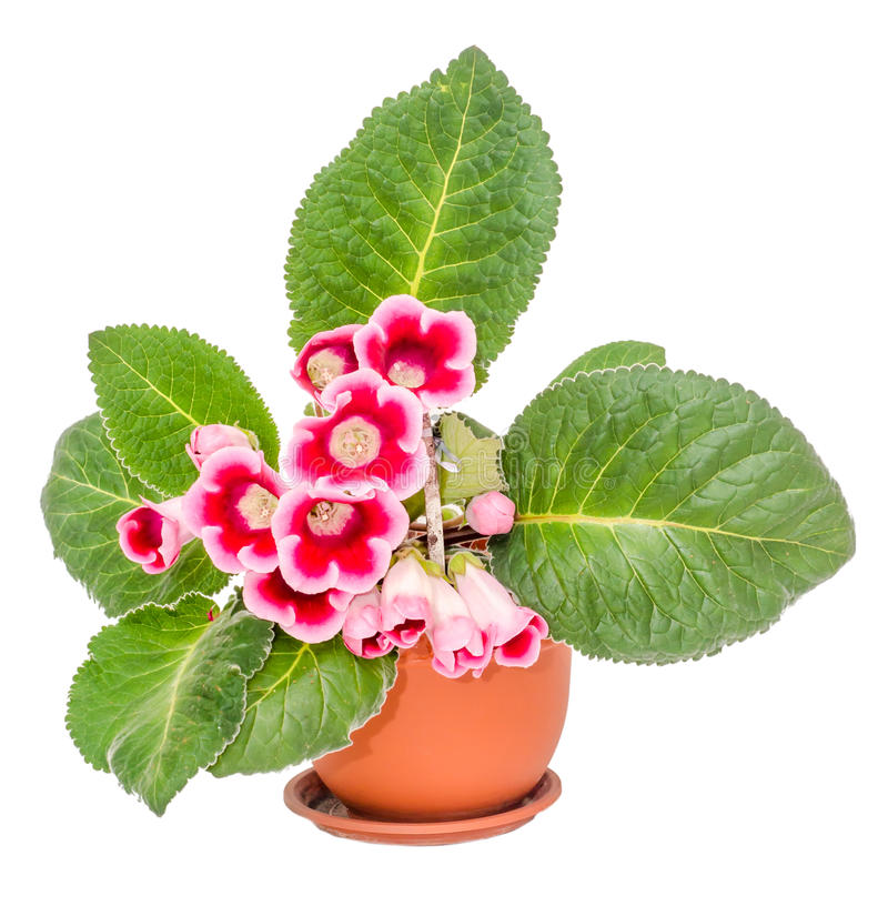 Gloxinia Rose-pourpre, fleur de speciosa de Sinningia photographie stock