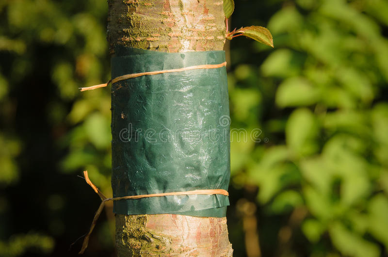 Glue band tied around the trunk of a tree. Sticky glue band tied around the trunk of a tree to prevent crawling insects, particularly ants which protect aphids stock photos